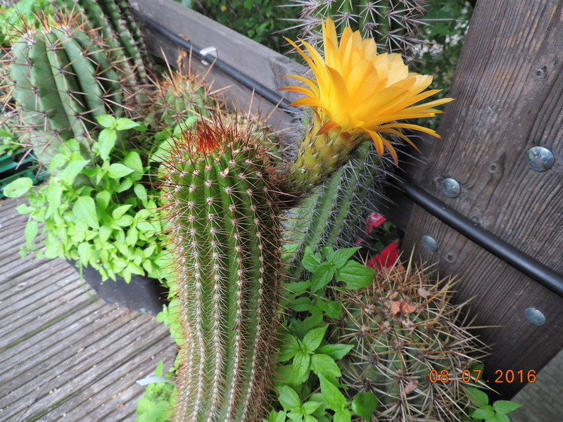 Cacti and Sukkulent in Köln, every day new flowers in the greenhouse Part 147 Bild_487