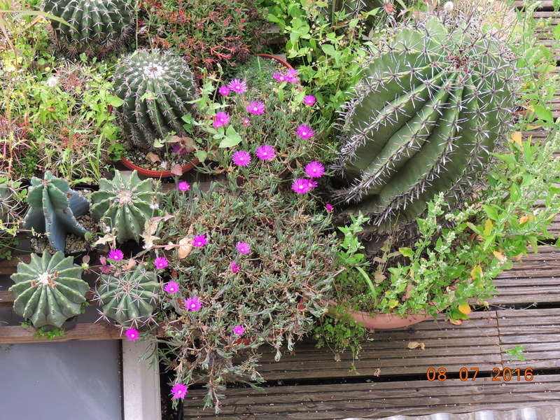Cacti and Sukkulent in Köln, every day new flowers in the greenhouse Part 147 Bild_488