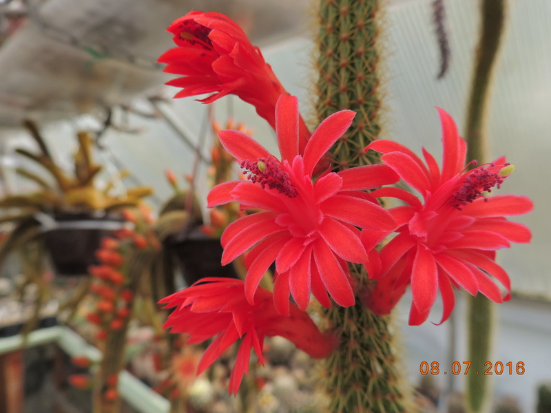 Cacti and Sukkulent in Köln, every day new flowers in the greenhouse Part 147 Bild_489
