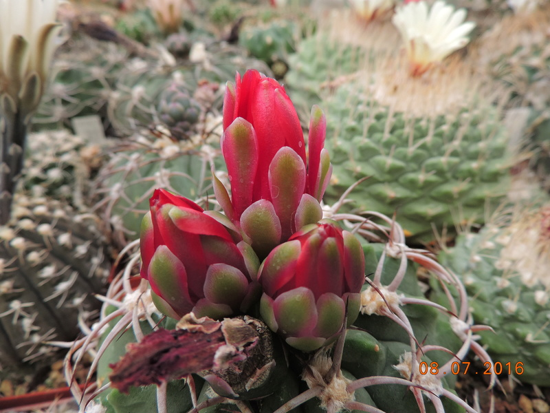 Cacti and Sukkulent in Köln, every day new flowers in the greenhouse Part 147 Bild_490