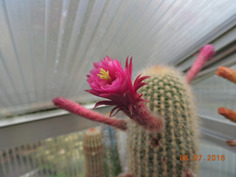Cacti and Sukkulent in Köln, every day new flowers in the greenhouse Part 147 Bild_493