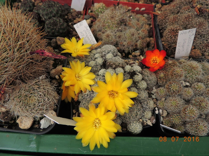 Cacti and Sukkulent in Köln, every day new flowers in the greenhouse Part 147 Bild_498