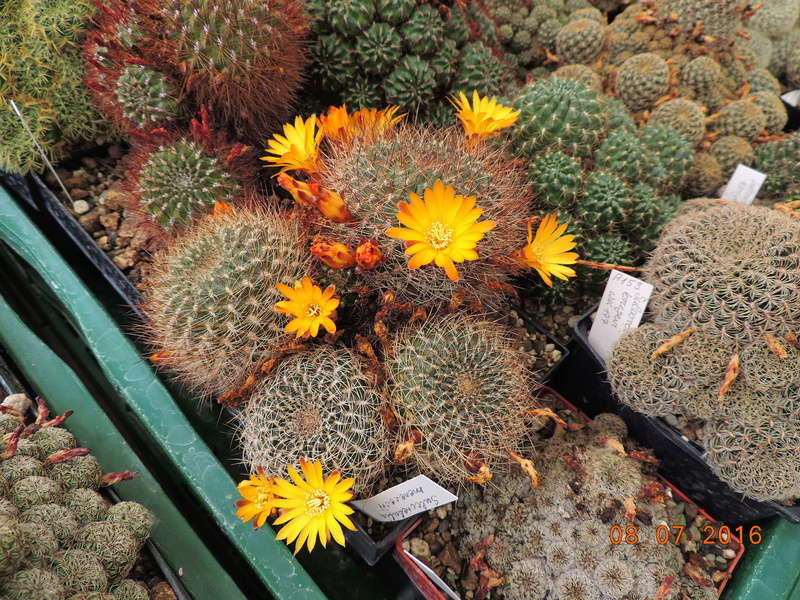 Cacti and Sukkulent in Köln, every day new flowers in the greenhouse Part 147 Bild_500
