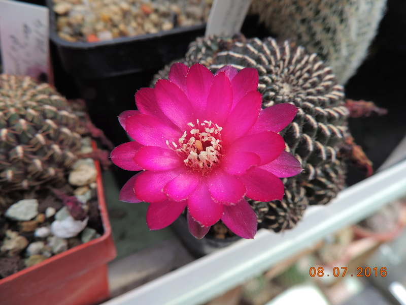 Cacti and Sukkulent in Köln, every day new flowers in the greenhouse Part 147 Bild_505