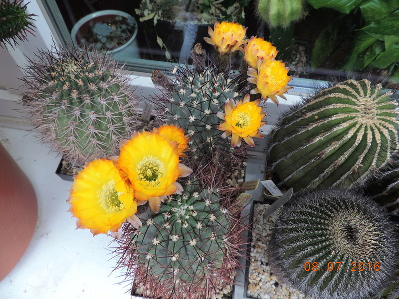 Cacti and Sukkulent in Köln, every day new flowers in the greenhouse Part 147 Bild_512
