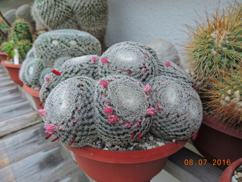 Cacti and Sukkulent in Köln, every day new flowers in the greenhouse Part 147 Bild_513
