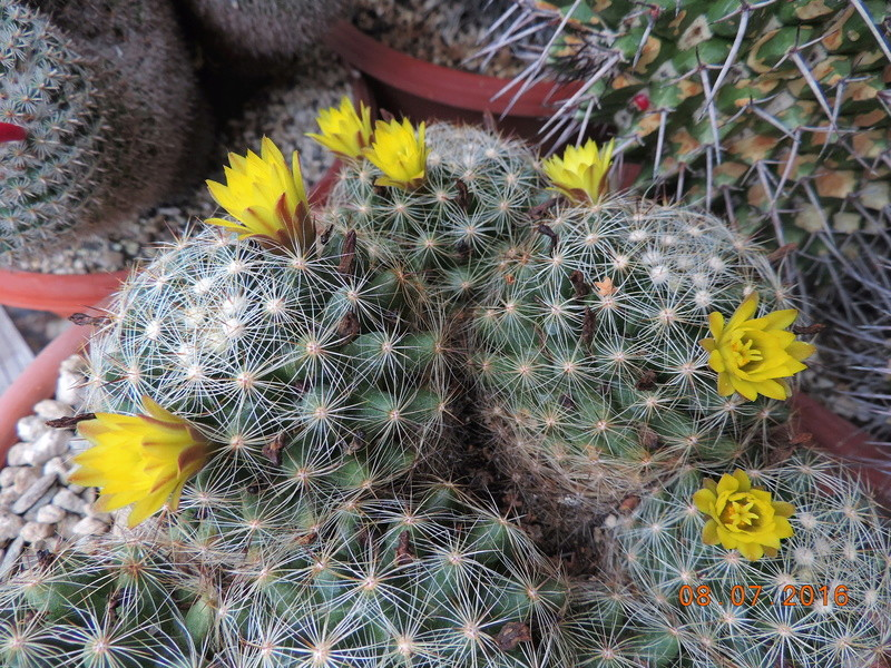 Cacti and Sukkulent in Köln, every day new flowers in the greenhouse Part 147 Bild_516