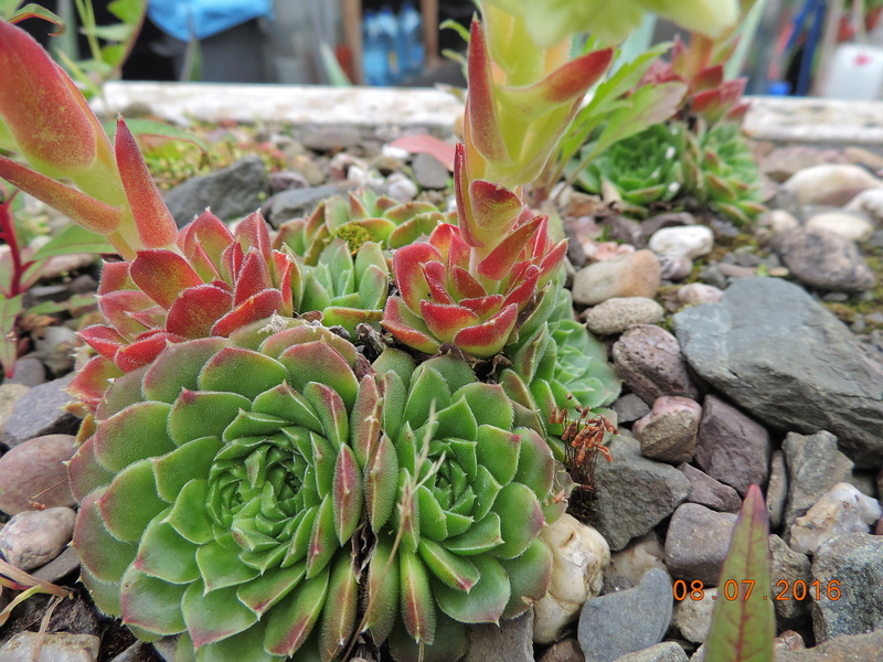 Cacti and Sukkulent in Köln, every day new flowers in the greenhouse Part 147 Bild_519