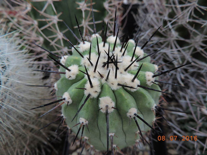 Cacti and Sukkulent in Köln, every day new flowers in the greenhouse Part 147 Bild_525