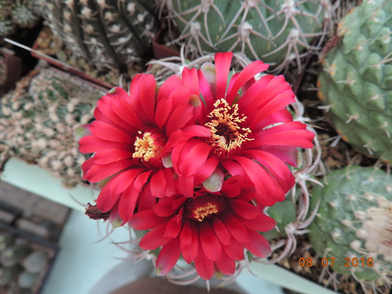 Cacti and Sukkulent in Köln, every day new flowers in the greenhouse Part 147 Bild_527