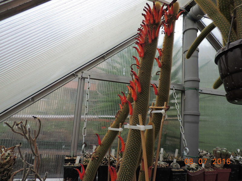 Cacti and Sukkulent in Köln, every day new flowers in the greenhouse Part 147 Bild_528