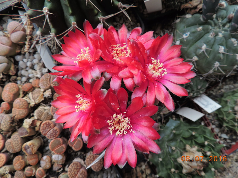 Cacti and Sukkulent in Köln, every day new flowers in the greenhouse Part 147 Bild_529