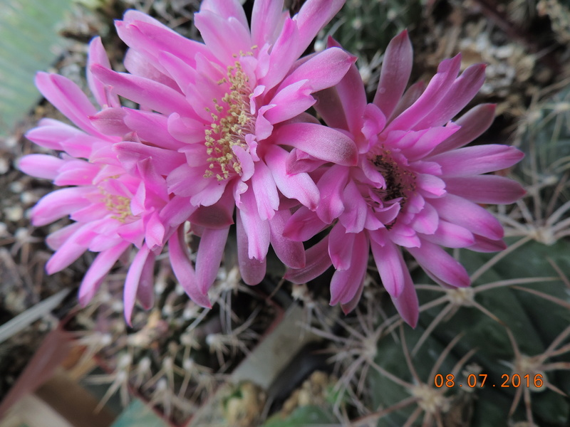 Cacti and Sukkulent in Köln, every day new flowers in the greenhouse Part 147 Bild_536