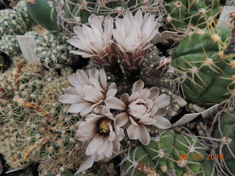 Cacti and Sukkulent in Köln, every day new flowers in the greenhouse Part 147 Bild_539