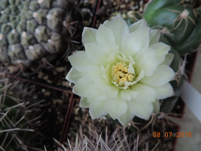 Cacti and Sukkulent in Köln, every day new flowers in the greenhouse Part 147 Bild_540