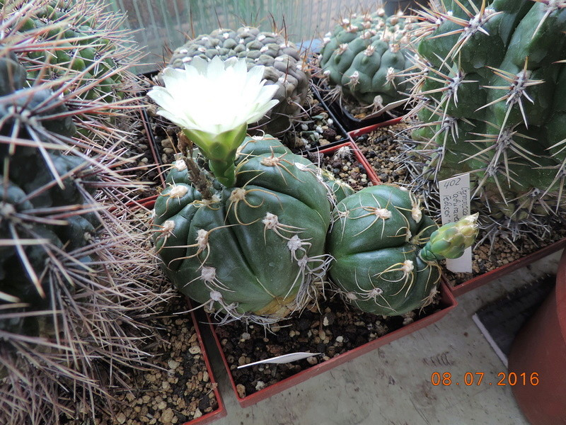 Cacti and Sukkulent in Köln, every day new flowers in the greenhouse Part 147 Bild_541