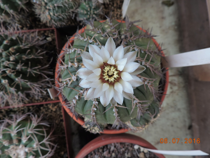 Cacti and Sukkulent in Köln, every day new flowers in the greenhouse Part 147 Bild_546