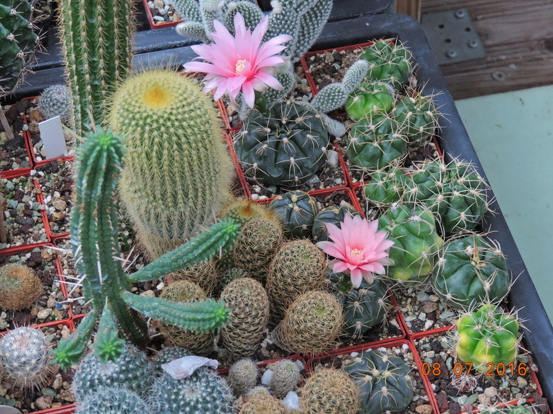 Cacti and Sukkulent in Köln, every day new flowers in the greenhouse Part 147 Bild_547