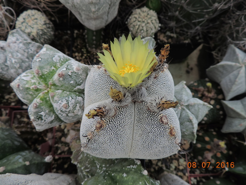 Cacti and Sukkulent in Köln, every day new flowers in the greenhouse Part 147 Bild_553