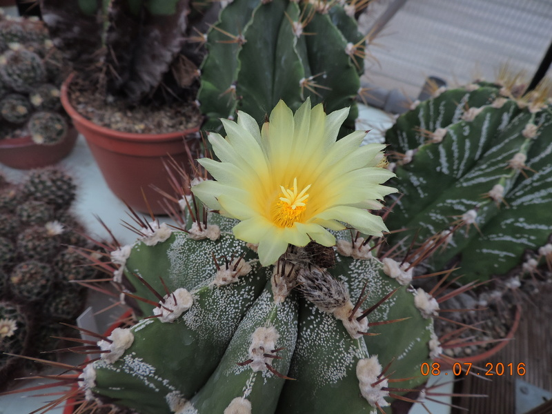 Cacti and Sukkulent in Köln, every day new flowers in the greenhouse Part 147 Bild_554
