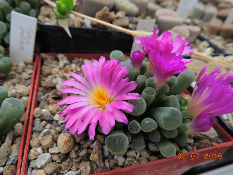 Cacti and Sukkulent in Köln, every day new flowers in the greenhouse Part 147 Bild_557