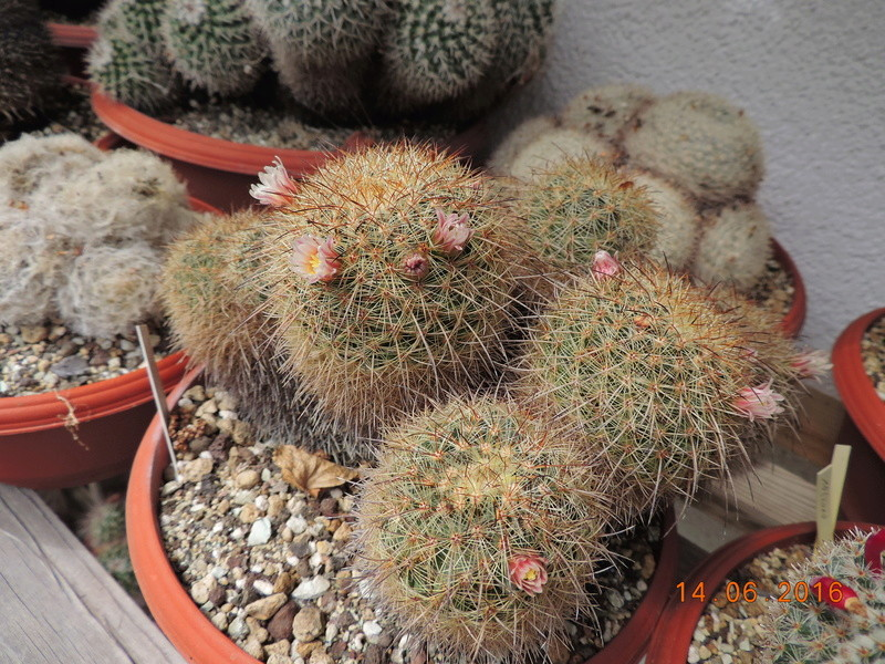 Cacti and Sukkulent in Köln, every day new flowers in the greenhouse Part 149 Bild_704
