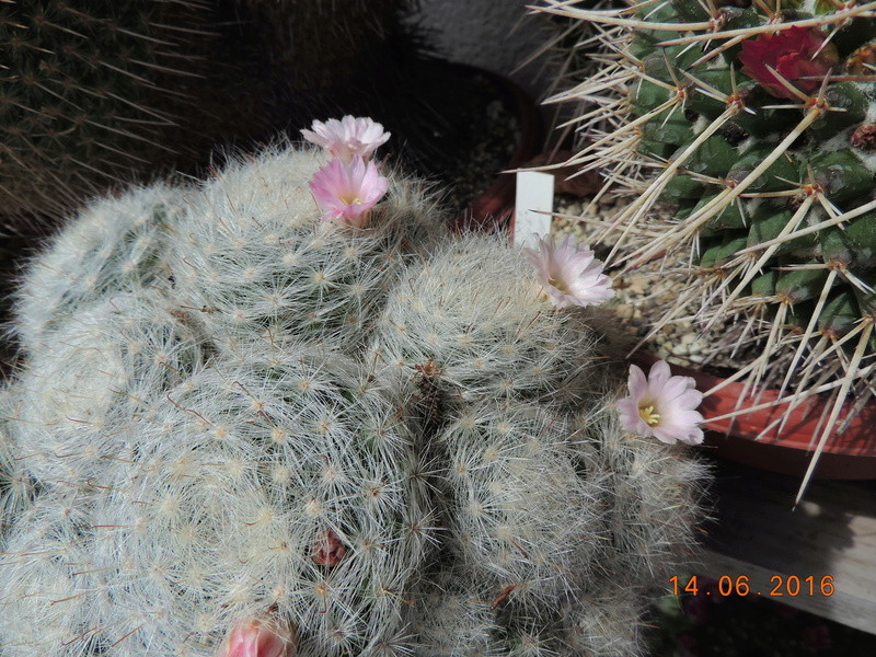 Cacti and Sukkulent in Köln, every day new flowers in the greenhouse Part 149 Bild_705
