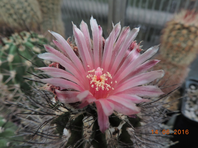 Cacti and Sukkulent in Köln, every day new flowers in the greenhouse Part 149 Bild_707