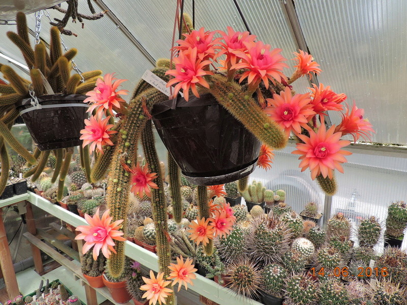 Cacti and Sukkulent in Köln, every day new flowers in the greenhouse Part 149 Bild_709