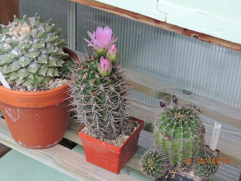 Cacti and Sukkulent in Köln, every day new flowers in the greenhouse Part 149 Bild_710