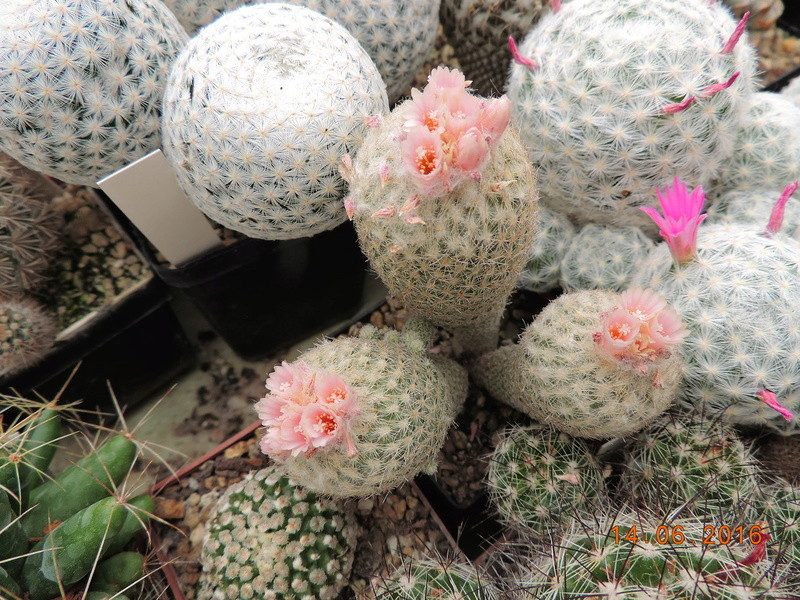Cacti and Sukkulent in Köln, every day new flowers in the greenhouse Part 149 Bild_711