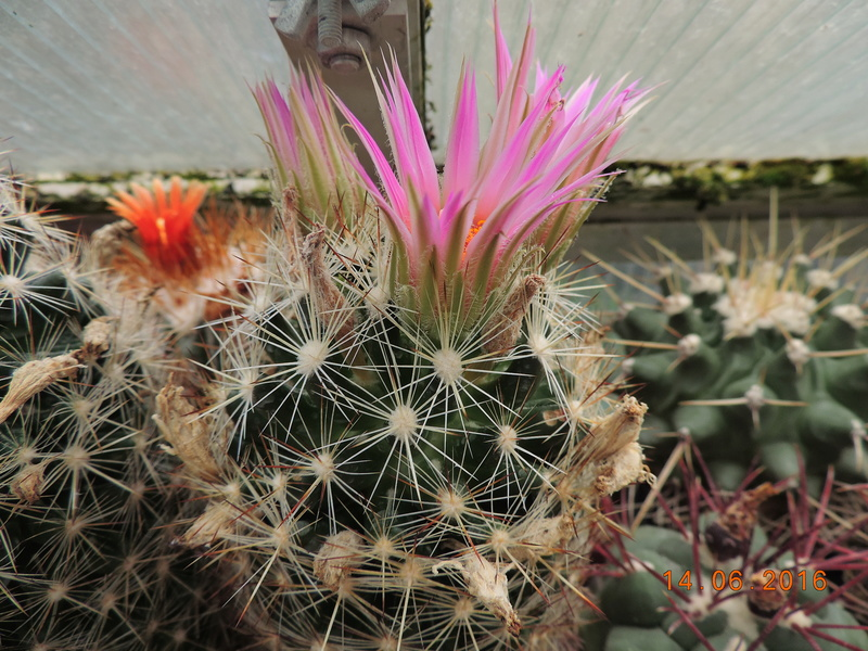 Cacti and Sukkulent in Köln, every day new flowers in the greenhouse Part 149 Bild_712