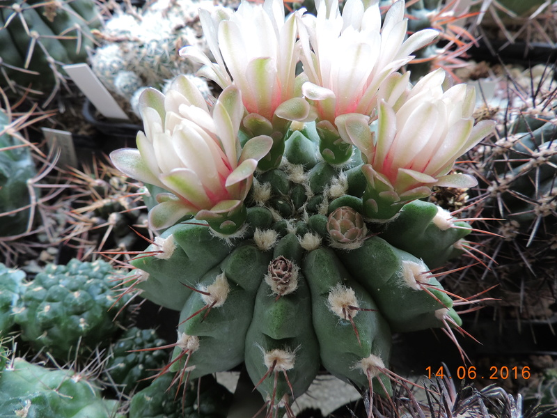Cacti and Sukkulent in Köln, every day new flowers in the greenhouse Part 149 Bild_713