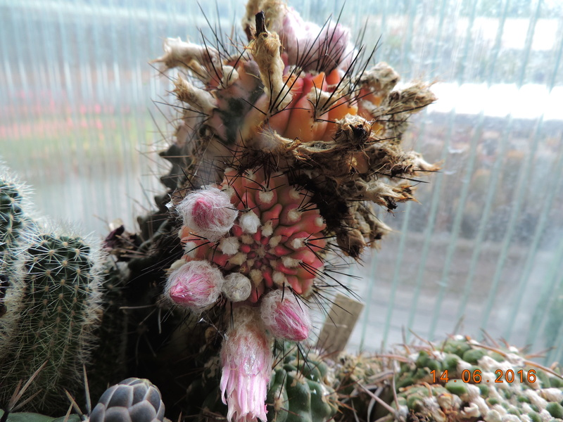 Cacti and Sukkulent in Köln, every day new flowers in the greenhouse Part 149 Bild_714
