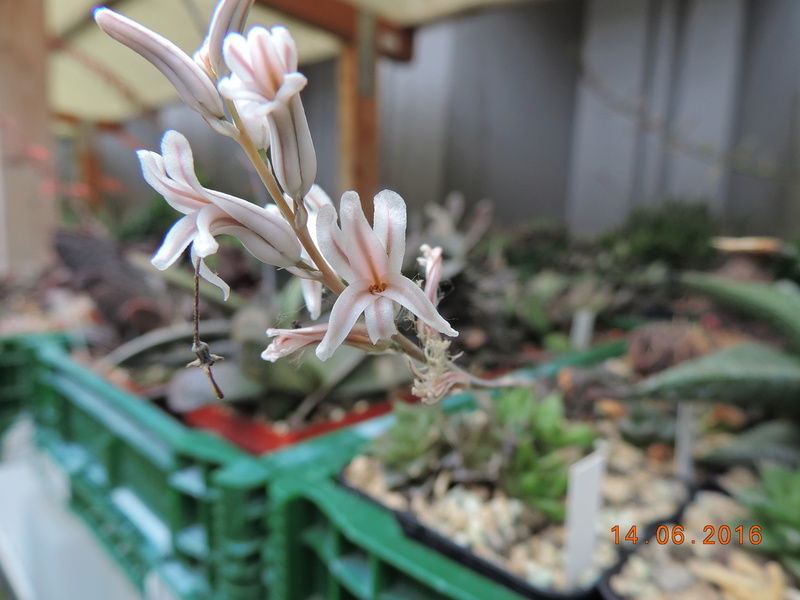 Cacti and Sukkulent in Köln, every day new flowers in the greenhouse Part 149 Bild_716