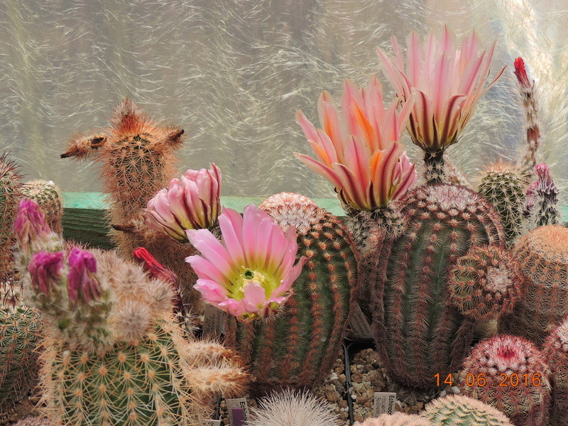 Cacti and Sukkulent in Köln, every day new flowers in the greenhouse Part 149 Bild_718