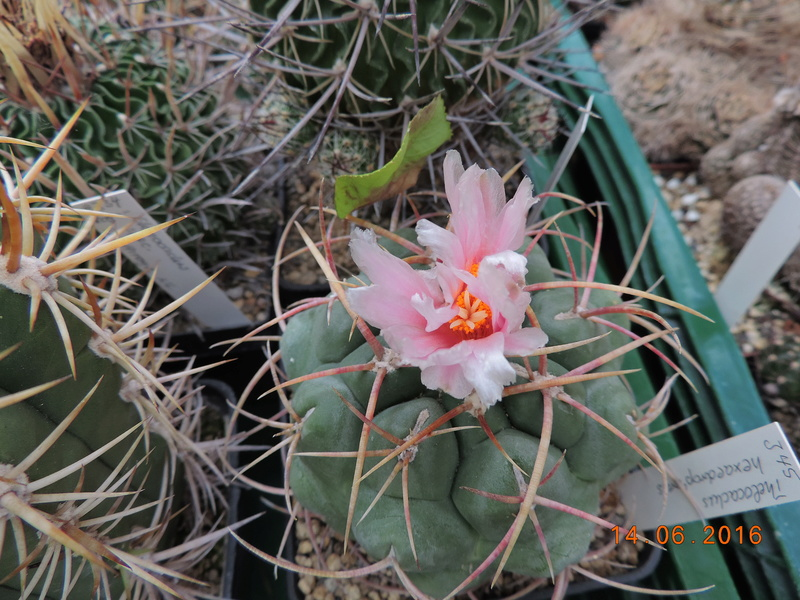 Cacti and Sukkulent in Köln, every day new flowers in the greenhouse Part 149 Bild_719