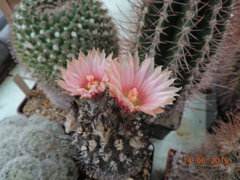 Cacti and Sukkulent in Köln, every day new flowers in the greenhouse Part 149 Bild_725