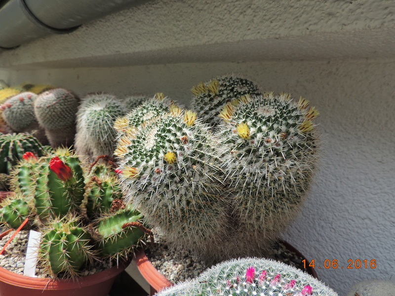 Cacti and Sukkulent in Köln, every day new flowers in the greenhouse Part 149 Bild_728