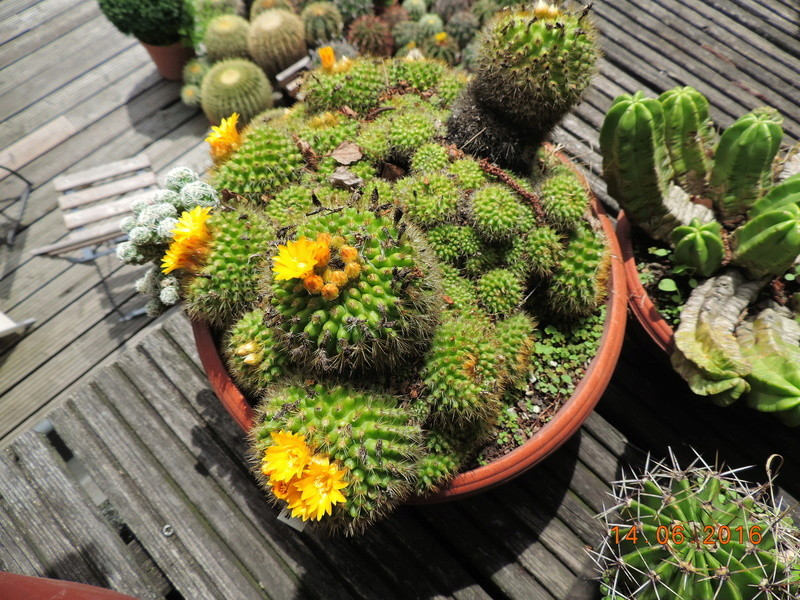 Cacti and Sukkulent in Köln, every day new flowers in the greenhouse Part 149 Bild_731