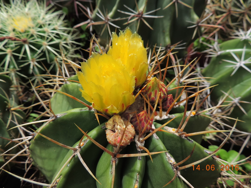 Cacti and Sukkulent in Köln, every day new flowers in the greenhouse Part 149 Bild_732