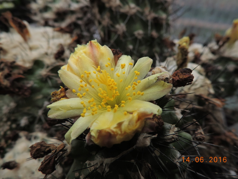 Cacti and Sukkulent in Köln, every day new flowers in the greenhouse Part 149 Bild_733