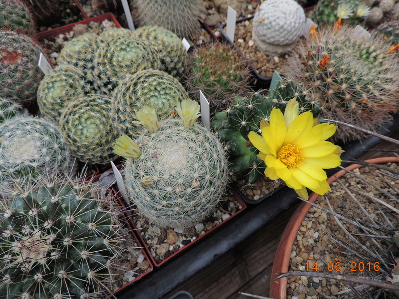 Cacti and Sukkulent in Köln, every day new flowers in the greenhouse Part 149 Bild_735