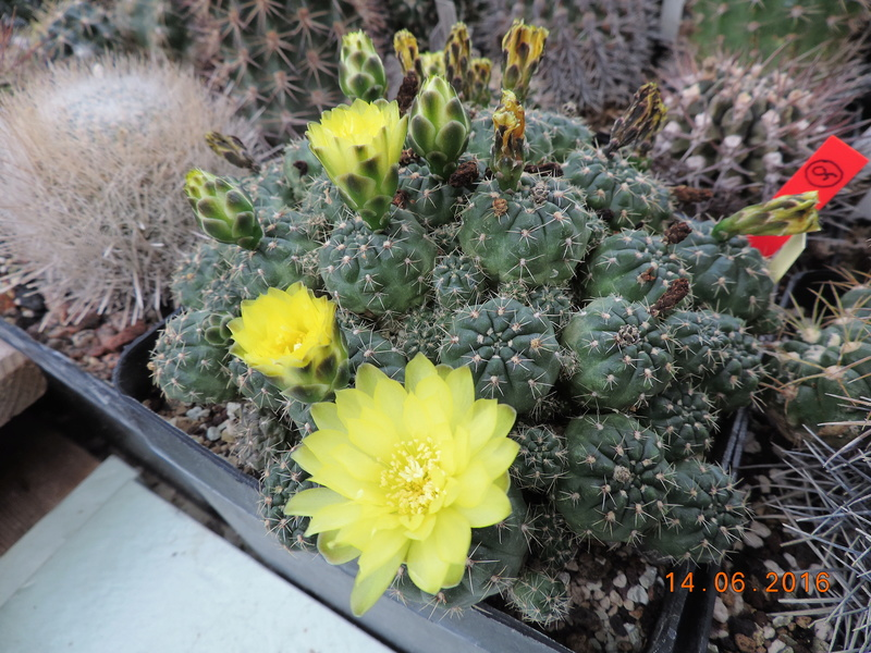Cacti and Sukkulent in Köln, every day new flowers in the greenhouse Part 149 Bild_736