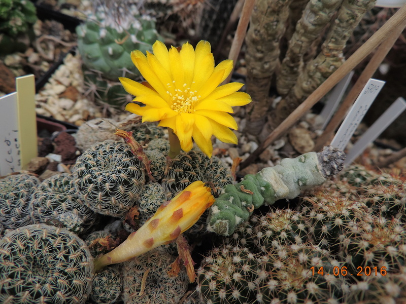 Cacti and Sukkulent in Köln, every day new flowers in the greenhouse Part 149 Bild_738
