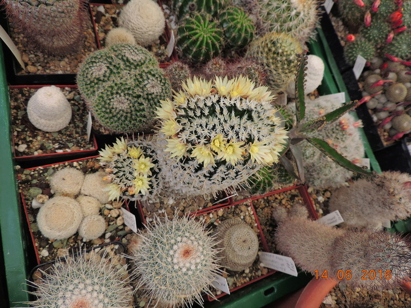 Cacti and Sukkulent in Köln, every day new flowers in the greenhouse Part 149 Bild_739
