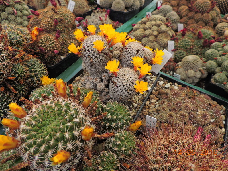 Cacti and Sukkulent in Köln, every day new flowers in the greenhouse Part 149 Bild_741