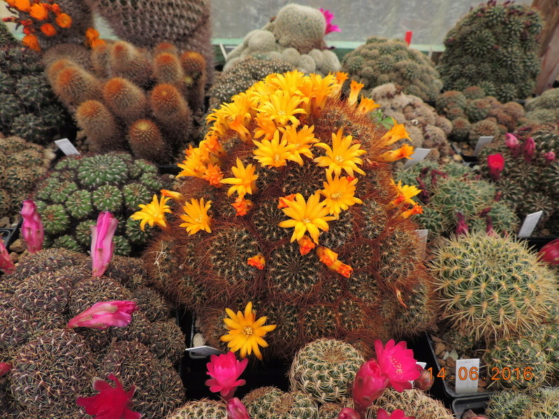 Cacti and Sukkulent in Köln, every day new flowers in the greenhouse Part 149 Bild_742
