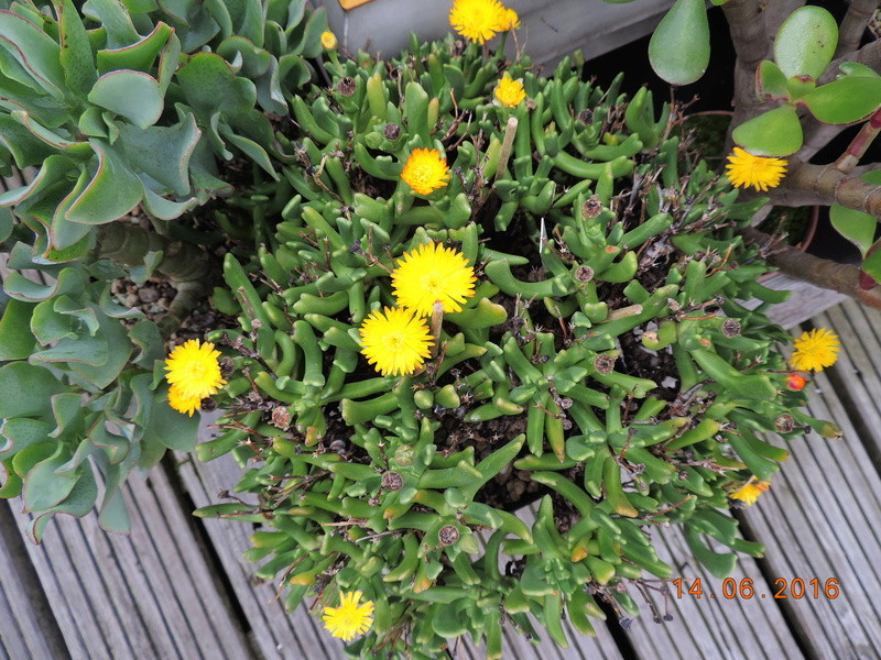 Cacti and Sukkulent in Köln, every day new flowers in the greenhouse Part 149 Bild_746