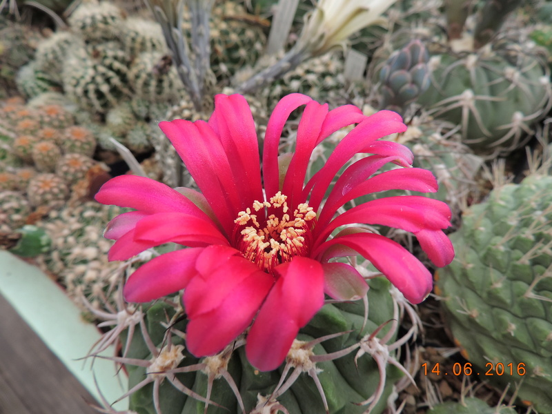 Cacti and Sukkulent in Köln, every day new flowers in the greenhouse Part 149 Bild_755